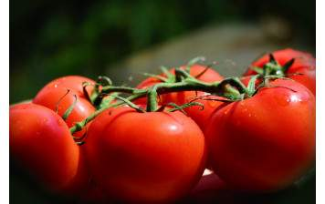 Tomates rondes GRTA