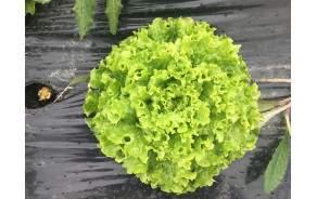 Salade batavia BIO de Genève
